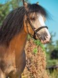 Portrait of buckskin welsh pony Stock Photo