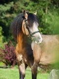 Portrait of buckskin welsh pony Royalty Free Stock Image