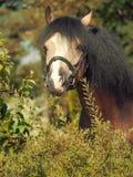 Portrait of buckskin welsh pony Stock Images