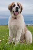 Portrait of Bucovina shepherd dog Stock Photography