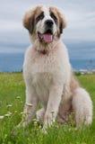 Portrait of Bucovina shepherd dog. Sitting Stock Photography