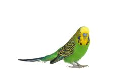 Portrait of  budgerigar Stock Image