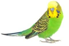Portrait of  budgerigar Royalty Free Stock Photo