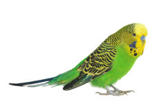 Portrait of  budgerigar Stock Photos
