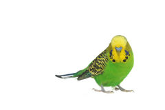 Portrait of  budgerigar Royalty Free Stock Image
