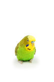 Portrait of budgerigar. Isolated on white background Royalty Free Stock Photo