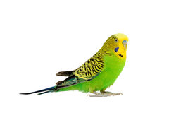Portrait of budgerigar. Isolated on white background Royalty Free Stock Photography