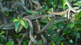 Buff striped keelback. A portrait of the buff striped keelback on a tree branches- a species of nonvenomous colubrid snake found across Asia stock video footage