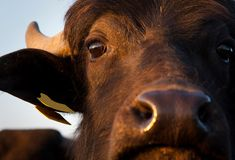 Portrait of a buffalo Royalty Free Stock Images