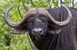 Portrait of buffalo bull. Standing alone in the bush Stock Photos
