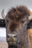 Portrait Of A Buffalo Royalty Free Stock Photography