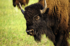 Portrait of a Buffalo Royalty Free Stock Photo