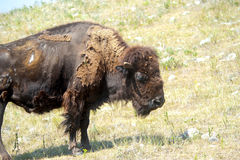 Portrait of a Buffalo Stock Image