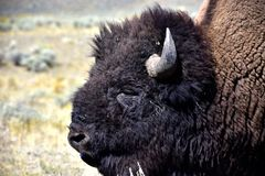Portrait of a Buffalo in a grass field stock images