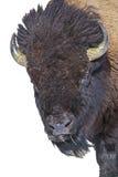 Portrait Buffalo isolated white royalty free stock image