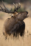 Portrait of bugling bull elk Stock Images