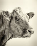 Portrait Of Bull Stock Image