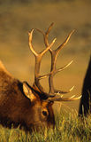 Portrait of a Bull Elk feeding Royalty Free Stock Photos