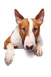 Portrait of a bull terrier Stock Photos