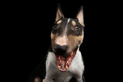 Portrait of bull terrier on isolated Black background Royalty Free Stock Photo
