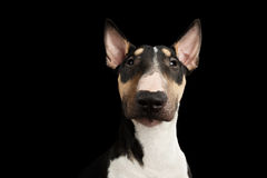 Portrait of bull terrier on isolated Black background. Portrait of Gorgeous Bull Terrier Dog Looking in camera on isolated Black background, front view Royalty Free Stock Photography