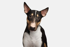 Portrait of bull terrier on isolated White background Royalty Free Stock Photos