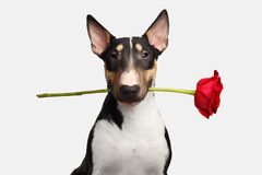 Portrait of bull terrier on isolated White background Royalty Free Stock Photography