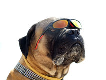 Portrait of the bulldog. In sunglasses. Isolated Stock Photography