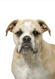 Portrait of a Bulldog Puppy. Close-up of a female English Bulldog puppy on white background royalty free stock photography