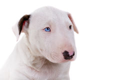Portrait of Bullterrier puppy Royalty Free Stock Photography