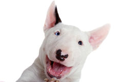 Portrait of bullterrier puppy Royalty Free Stock Photos