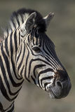 Portrait of Burchells zebra Stock Photo