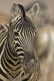 Portrait of Burchells Zebra Stock Images