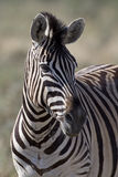 Portrait of Burchells zebra Royalty Free Stock Photo