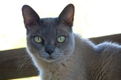 Portrait of Burmese Cat Stock Photography