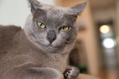 Portrait of Burmese house cat with attitude. Portrait of Burmese house cat royalty free stock images