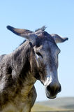 Portrait of a burro Royalty Free Stock Images