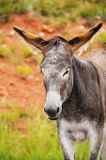 Portrait of a Burro Royalty Free Stock Photos