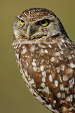 Portrait of Burrowing Owl Royalty Free Stock Image