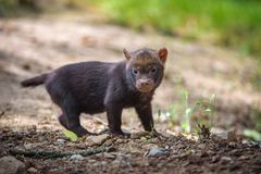 Portrait of a bush dog puppy Stock Images
