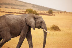 Portrait of Bush Elephant walking in savannah Royalty Free Stock Photography