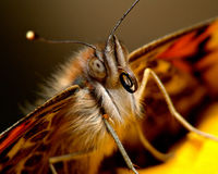 Portrait of a butterfly. Macro portrait of a (live) butterfly Stock Photography