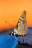 Portrait of a butterfly Royalty Free Stock Photo
