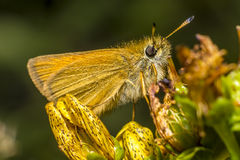 Portrait of a butterfly Stock Photography