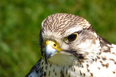 Portrait of buzzard Royalty Free Stock Photos