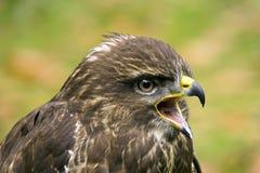 Portrait of a buzzard Stock Image