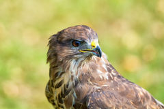 Portrait buzzard Royalty Free Stock Image