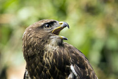 Portrait of a buzzard Stock Photography