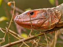 Portrait of a Caiman Lizard Stock Image