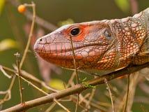 Portrait of a Caiman Lizard Stock Image